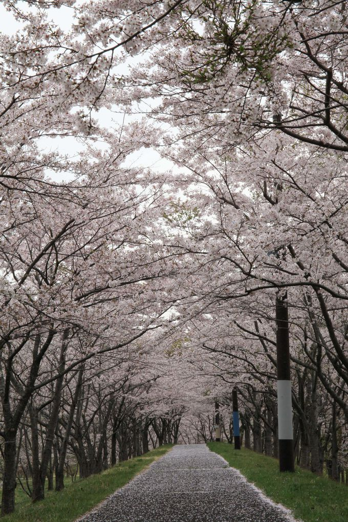 桜にイルミネーションも!「七ヶ宿ダム自然休養公園」