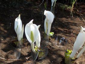 はるかな尾瀬〜♪四季折々の高山植物を楽しむハイキング