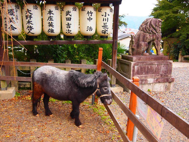 京都山科の大石神社、アイドルは超可愛いミニホースの「花子ちゃん」