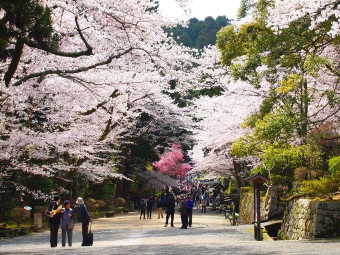 桜と石垣のコラボレーション