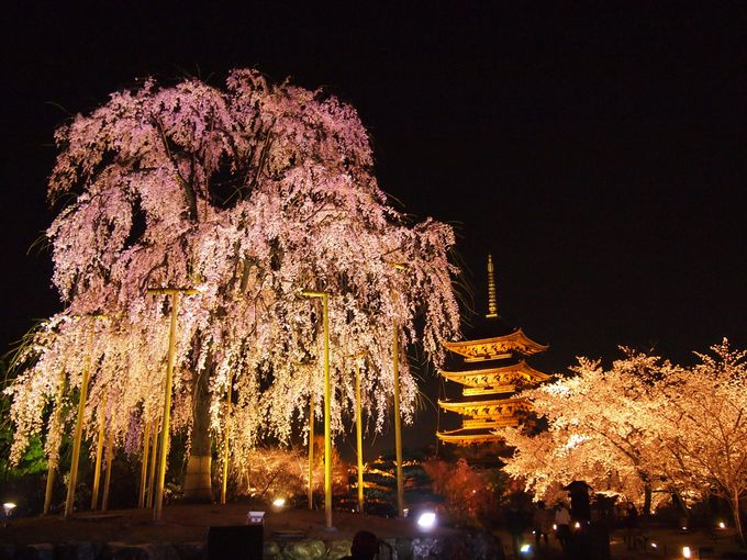 ライトアップも必見!五重塔と不二桜「京都・東寺」