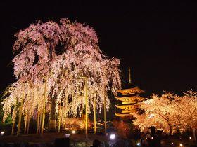 ライトアップも必見!美しすぎる京都の玄関口「東寺」の桜