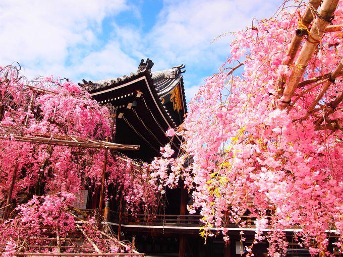 美しい春の桜