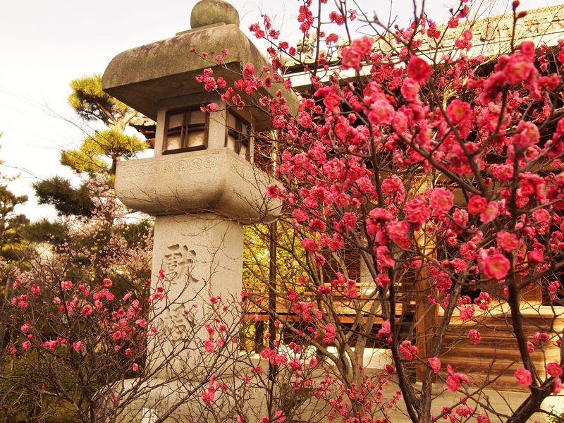 「阿弥陀堂」前の紅梅