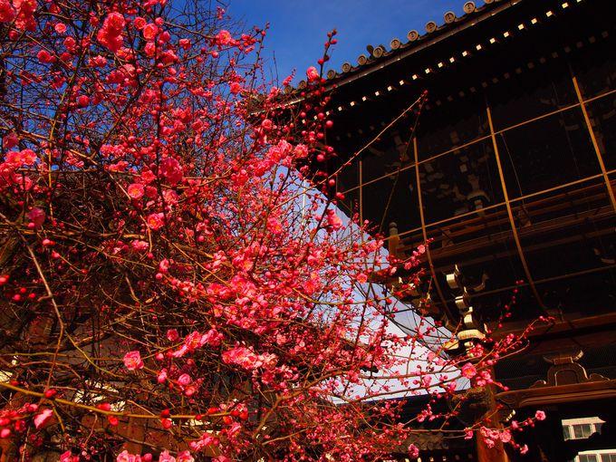 例年紅梅から咲く「興正寺」