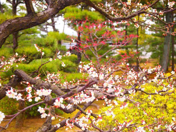 梅も美しい智積院