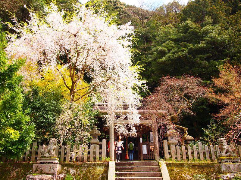 狛ねずみも可愛い!京都・哲学の道すぐ、桜と椿の「大豊神社」