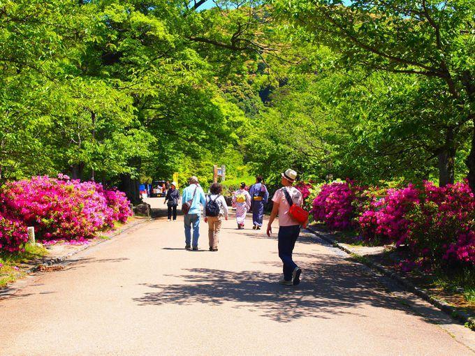 円山公園のツツジ