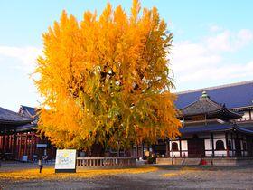 秋の大銀杏の紅葉がすごい!京都「西本願寺」期間限定のカフェも