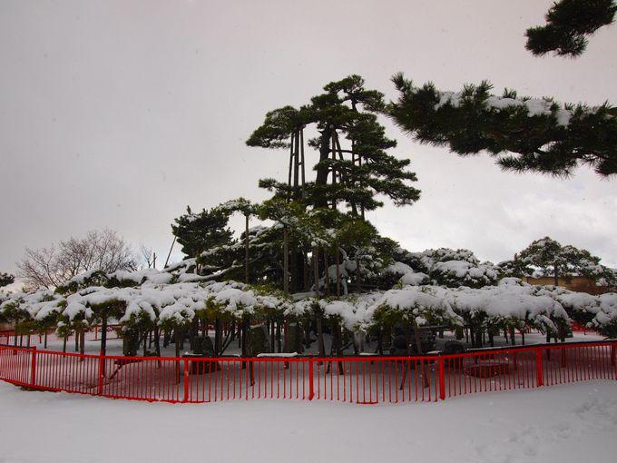 「唐崎の松」も唐崎神社の見どころのひとつ