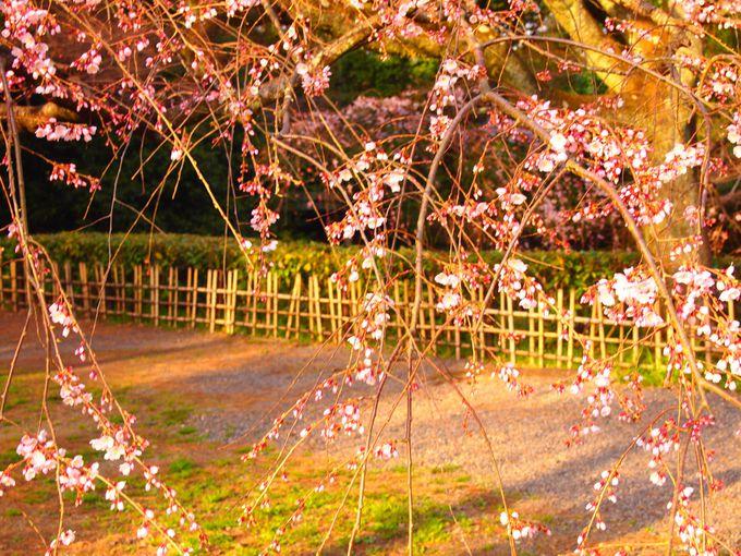 そして早咲きの桜