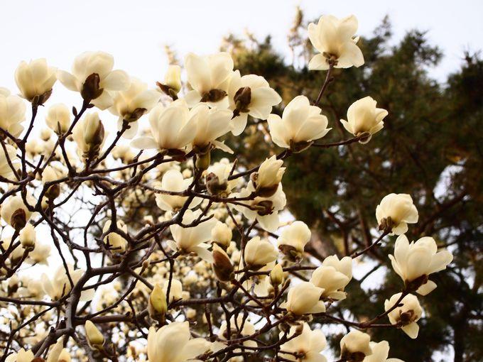 木蓮も美しい!