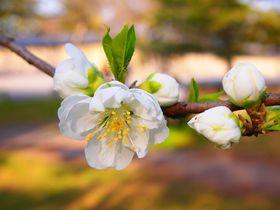「京都御苑」早春からの花リレー!寒梅から桃・木蓮・早咲きの桜まで