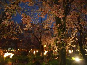 夜も美しい京都「平野神社」桜ライトアップ!多彩な品種・花の共演