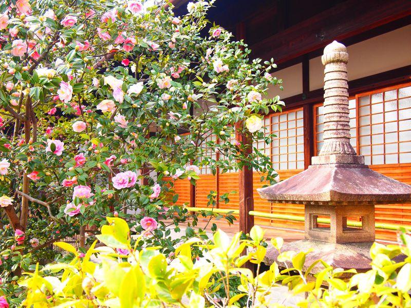 京都「椿寺・地蔵院」美しい五色八重散椿とあの英雄が眠る墓所