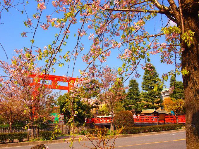 大鳥居と白川沿いの桜