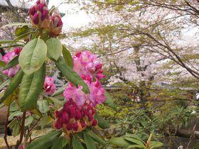 多彩な花々と水辺の光景!春の京都「哲学の道」花散歩