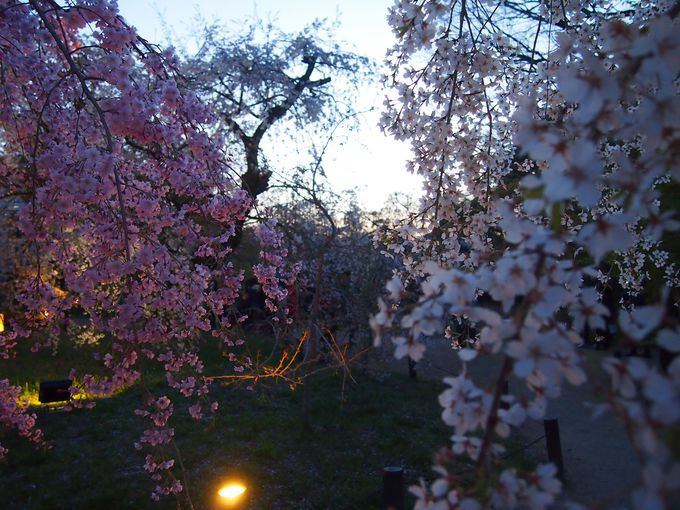 桜グラデーション!