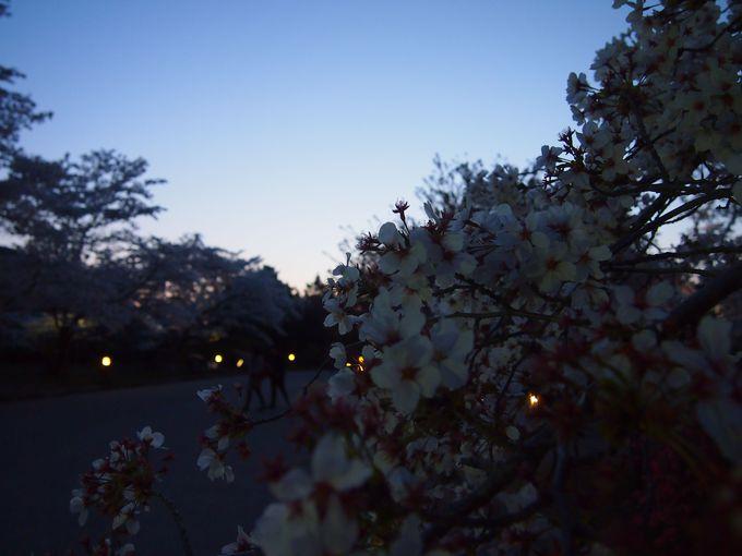 夕暮れ時の花々