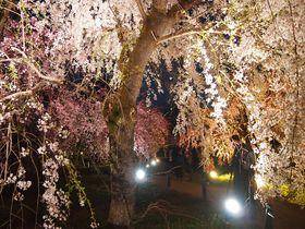 桜グラデーションを堪能!京都府立植物園「桜ライトアップ」