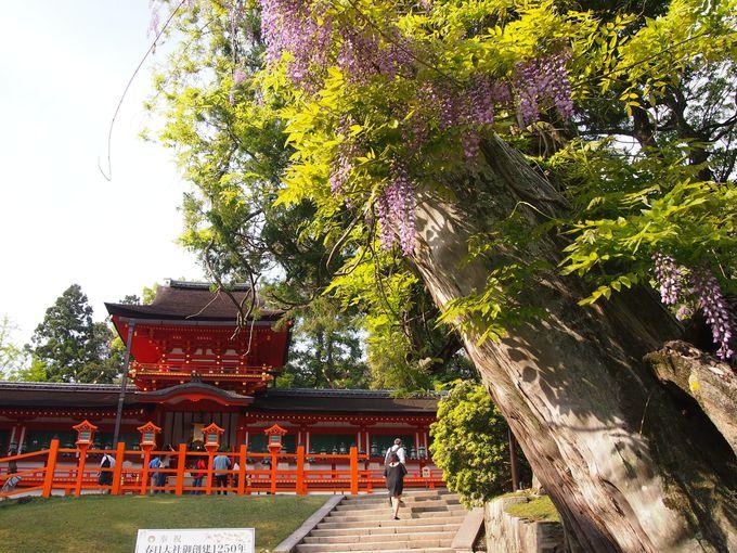 中門と美しい藤の花