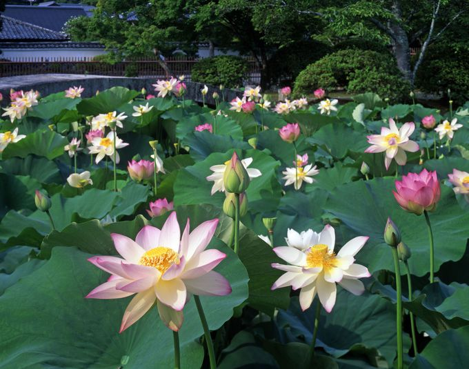 「天龍寺」放生池の蓮