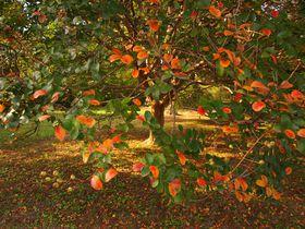 小さい秋見つけた!「京都御苑」の紅葉最前線