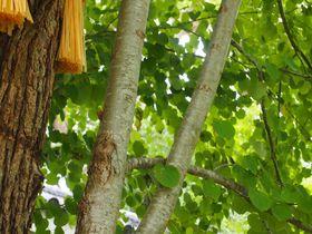 御神木の葉はハートの形!京都「梨木神社」の見所