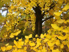 まさに黄金!紅葉の「京都御苑」イチョウの姿は必見