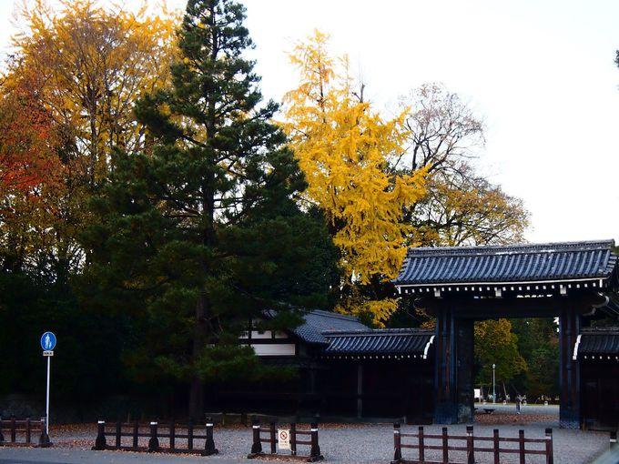 堺町御門周辺のイチョウ
