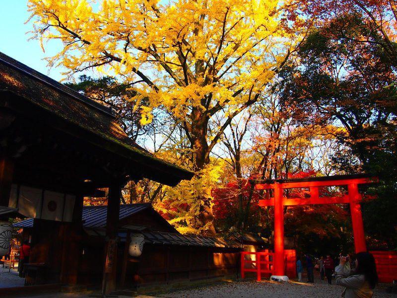 秋の紅葉が美しい京都・下鴨神社 糺の森と河合神社の大イチョウ