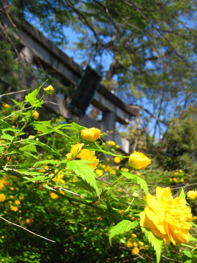 梨木神社周辺の山吹