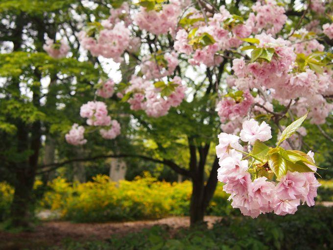桜の花と山吹の競演も!