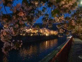 琵琶湖疏水沿いの夜桜は絶景!京都「岡崎桜回廊ライトアップ」