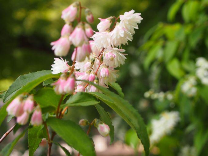 ピンク色の卯の花も