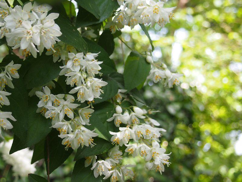 卯月の名の由来!卯の花が咲く初夏の大阪「住吉大社」
