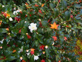 京都秋の特別公開「霊鑑寺」名庭園の紅葉と椿の花々