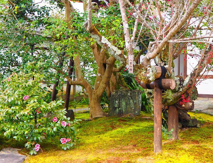 京都屈指の椿の名所「霊鑑寺」