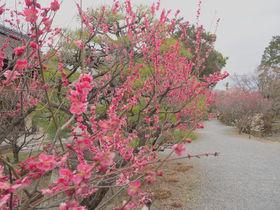 神苑の梅や椿は必見!早春の花々が美しい京都「梅宮大社」