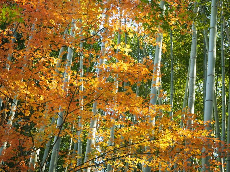 竹と紅葉のコラボは必見!京都竹の寺「地蔵院」ハートの窓にもご注目