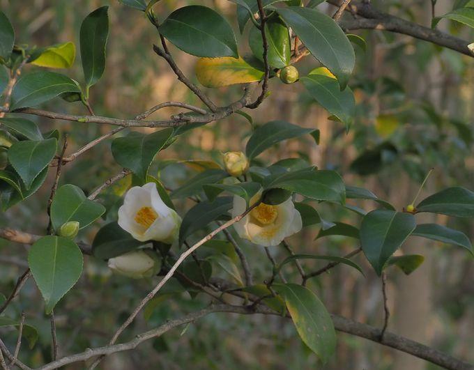 多彩な椿の品種