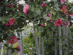 椿&松・竹・梅!京都府八幡市「松花堂庭園」で楽しむ新春の花々