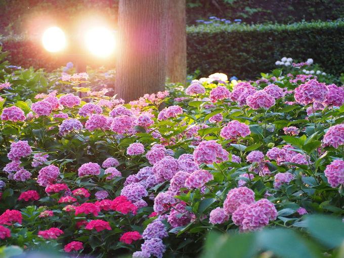 夕刻の「あじさい園」