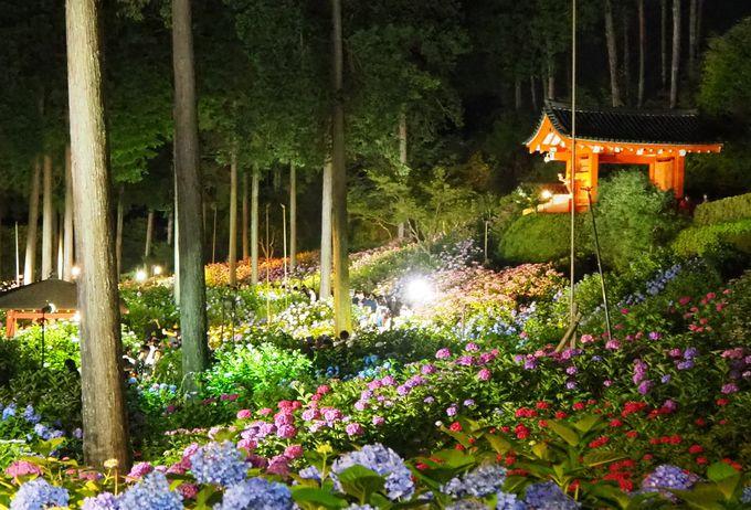 幻想的な夜のあじさい園