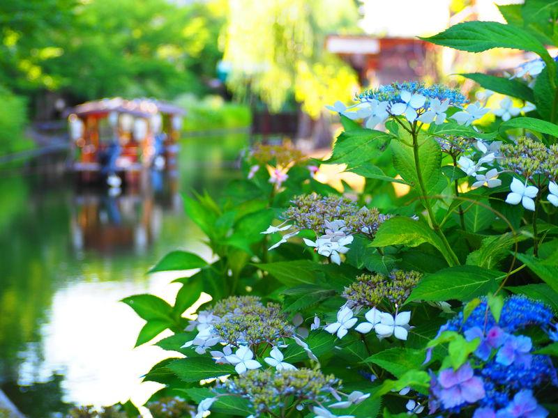 酒蔵や十石舟も!緑と紫陽花が美しい京都・伏見宇治川派流