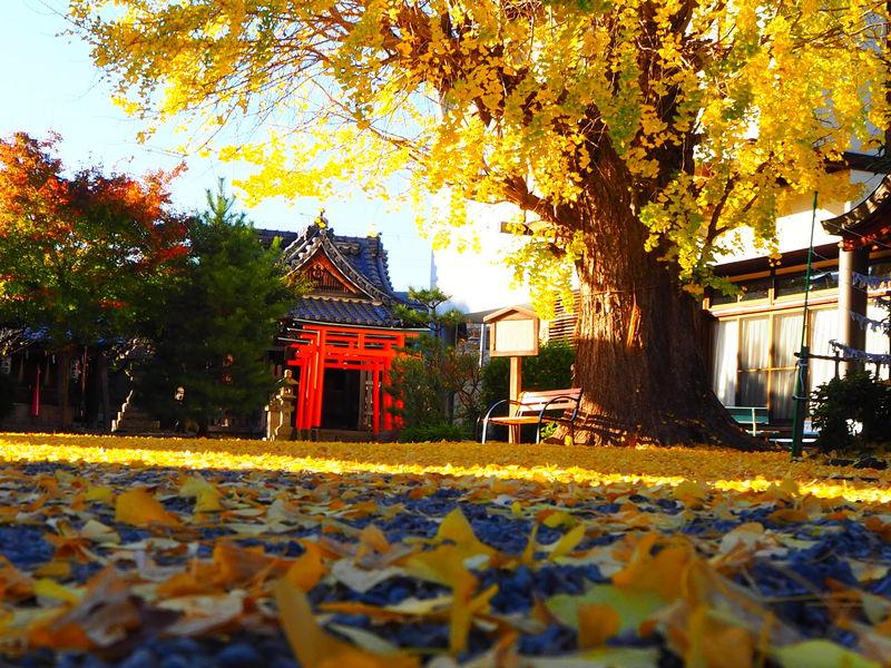黄金色に輝く夕刻は必見!湖国・滋賀県の黄葉名所「和田神社」