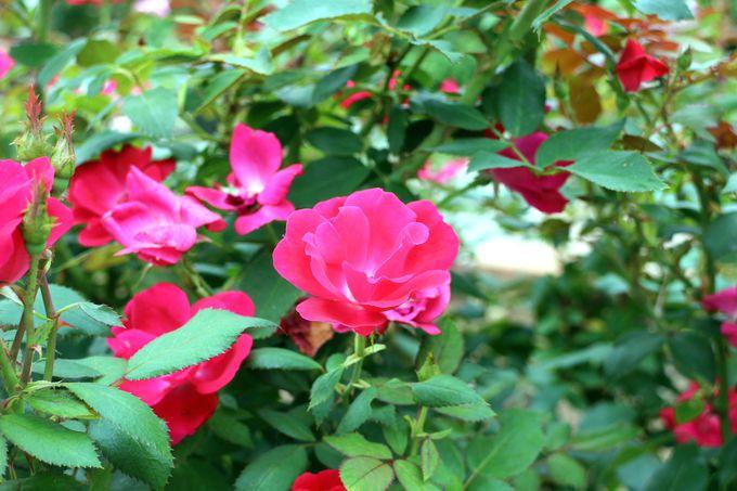 春と秋に咲き誇るローズガーデンは正統派ガーデンの証(あかし)
