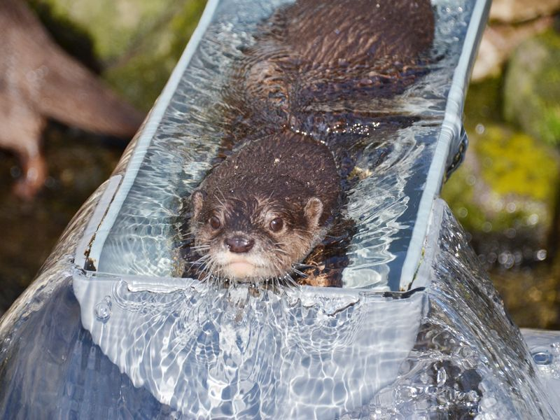 名物は流しカワウソ!市川市動植物園のコツメカワウソたちに会いにいこう!