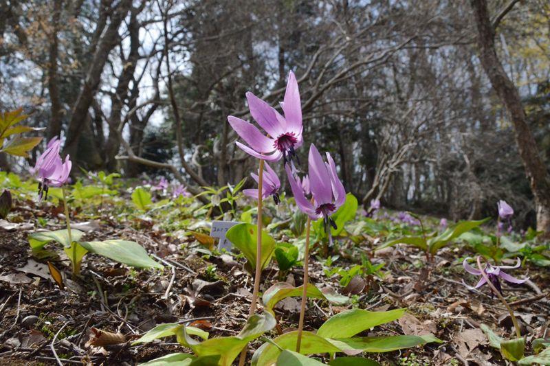里山を彩る花の妖精に会える!神奈川「城山かたくりの里」
