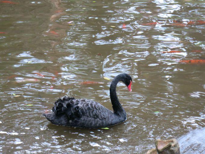 池には鯉とブラックスワン